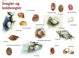 Artsplansje - snegler (Illustrasjon: Stein Mortensen)