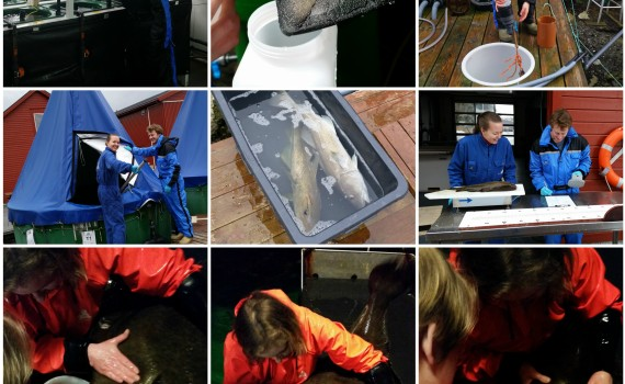 1. Røkting av torskelarver 2. Torske-egg som skulle sendes til Trondheim 3. Innsamling av dyreplankton fra Svartatjern, 4-6 Hjelper Luke med sitt forsøk på torsk. 7-9 Stryking og melking av kveite.