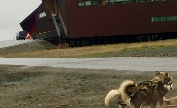Alaska Malamute Neighbors, prepping for a run in Longyearbyen