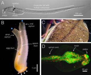 Images of C. intestinalis